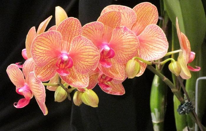 6175292_Phalaenopsis_ (700x446, 248Kb)