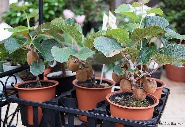 говорят, что какой экзотический фрукт можно вырастить в квартире продукт