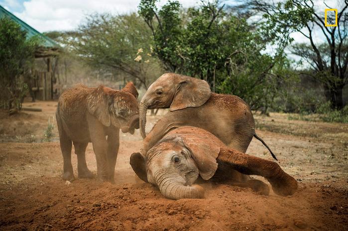 приют для слонов в кении 2 (700x465, 459Kb)