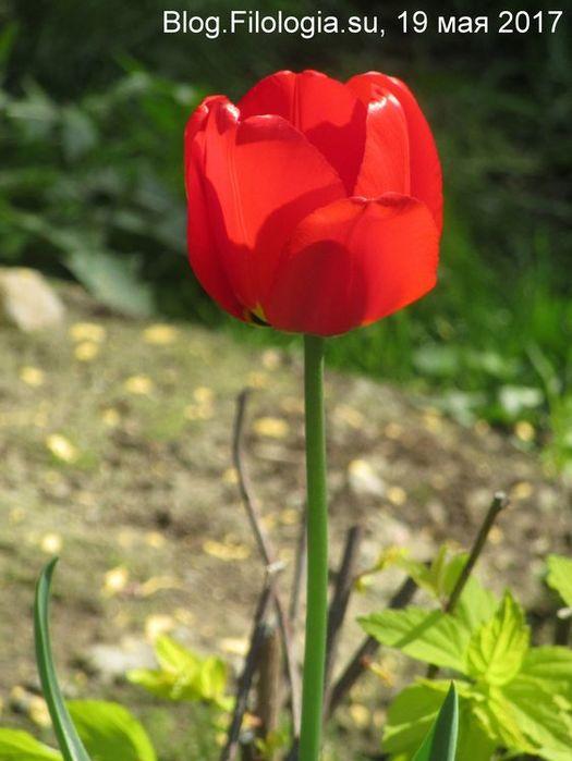Цветущий ярко красный тюльпан (525x700, 47Kb)