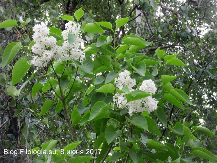 Кусты цветущей белой сирени (700x525, 99Kb)