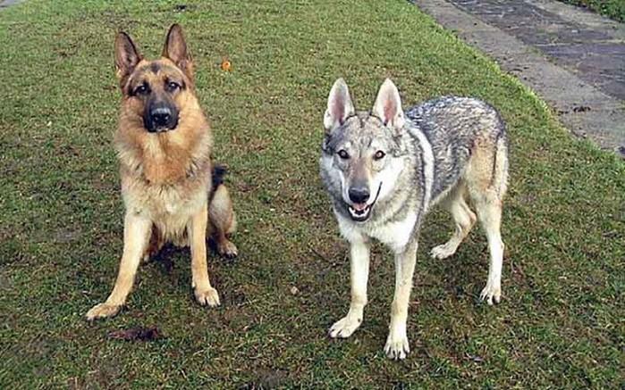 Как отличить собаку от волка и наоборот