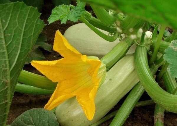 Йод: применение на огороде и в саду/4512595_jod_dlja_kabachkov (600x426, 25Kb)