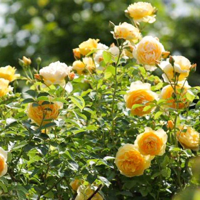 3424885_gardenroses032 (700x700, 111Kb)