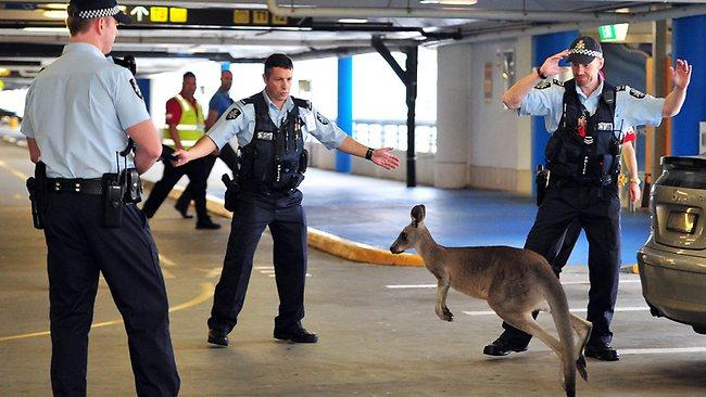 Кенгуру в аэропорту Мельбурна