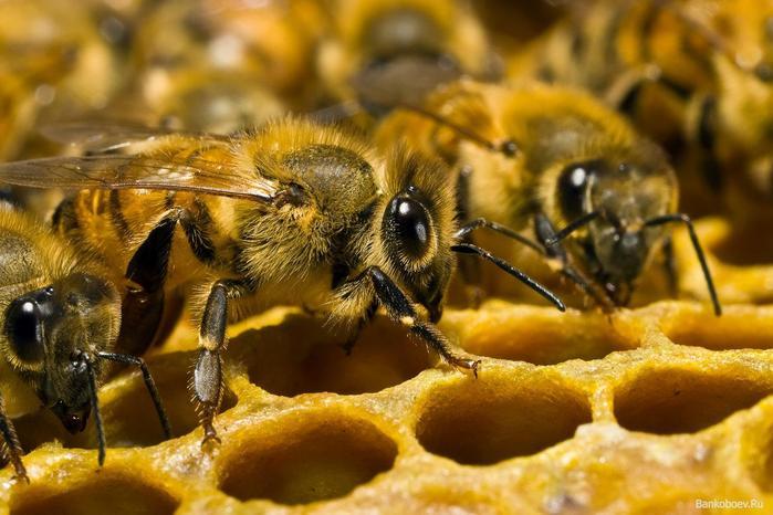 Удивительные факты о пчелах