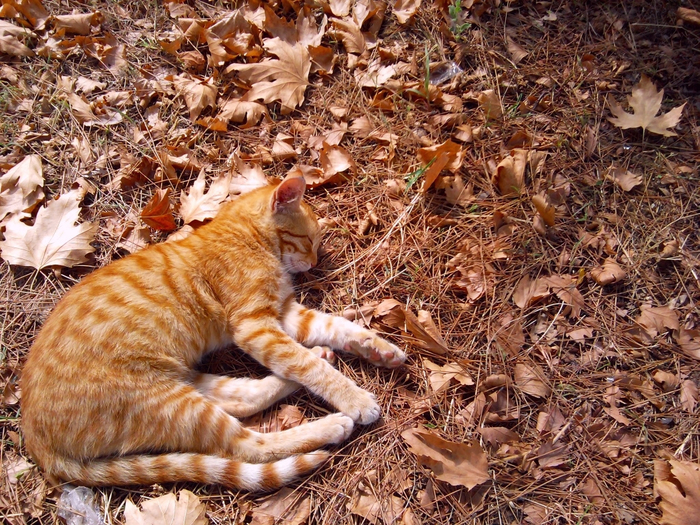 autumn_yellow_cat_sleeping_more_like_many-pPhK (700x525, 603Kb)