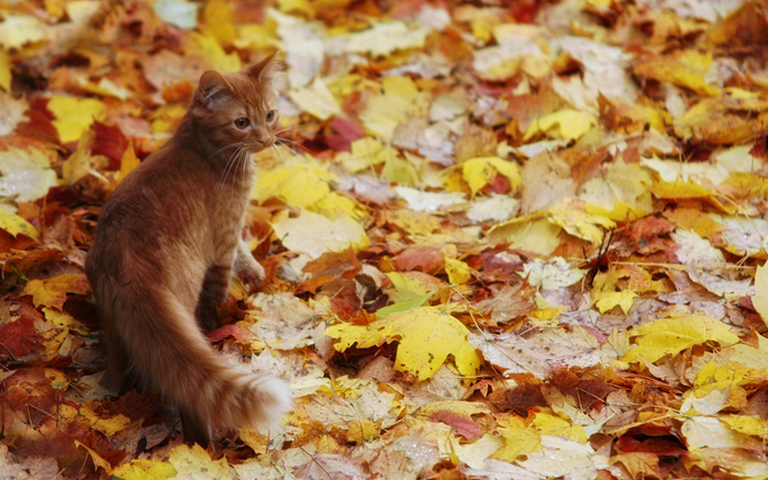 Autumn_Cats_Foliage_435407_1920x1200 (700x437, 473Kb)