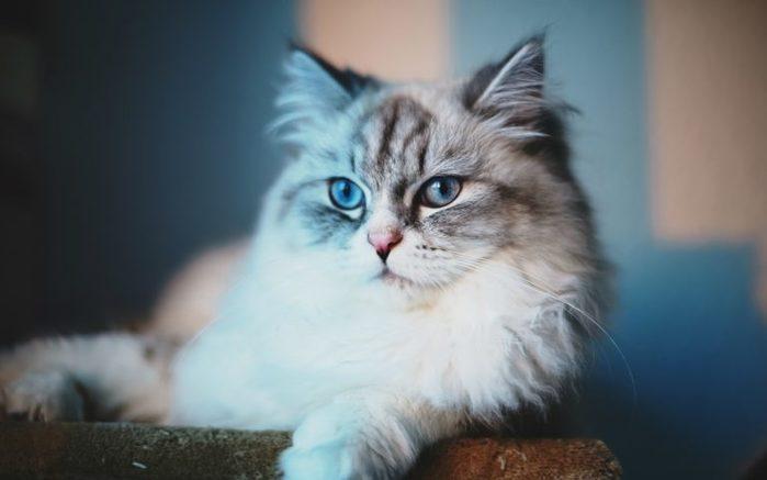 fluffy-cat-dreaming-768x480 (700x437, 28Kb)