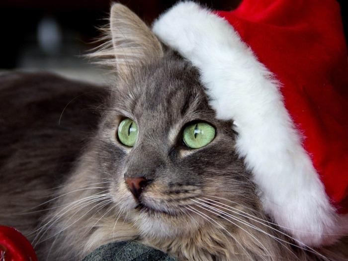 cat_face_hat_new_year-Animal_Photo_Wallpaper_1024x768 (700x525, 93Kb)