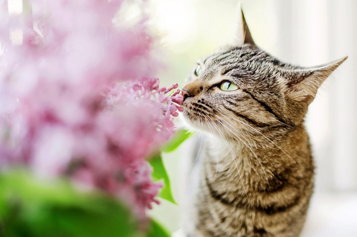 Cats_Sniffing_Flowers_02 (700x463, 260Kb)