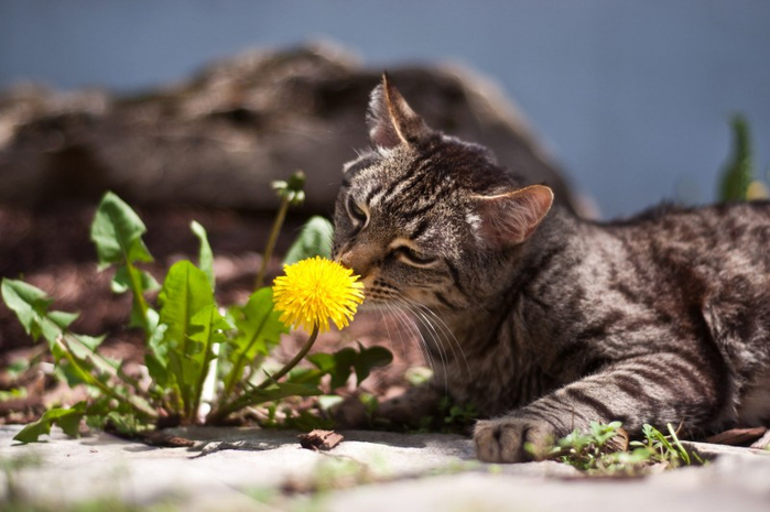 Cats_Sniffing_Flowers_03 (700x465, 280Kb)