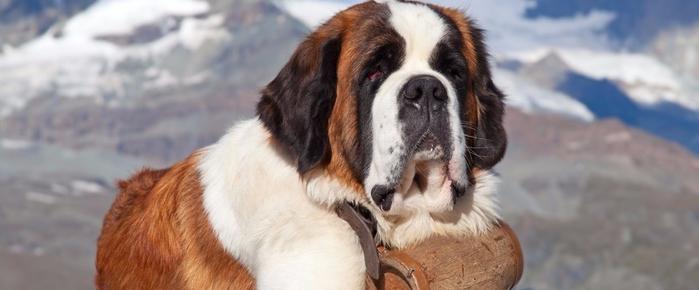 St-Bernard-Dog-with-keg-ready-26780945-3h3-7e2 (700x290, 179Kb)
