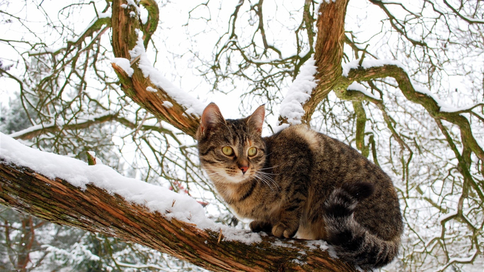 Domestic-cat-tree-snow-winter_1366x768_wallpaper (700x393, 410Kb)