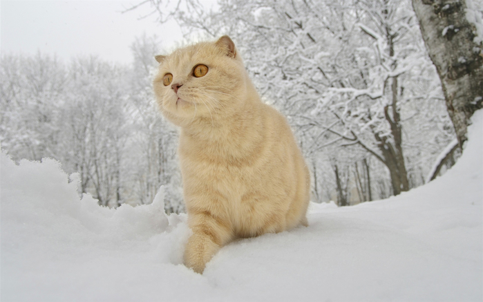 Winter-snow-cat_1920x1200_wallpaper (700x437, 245Kb)