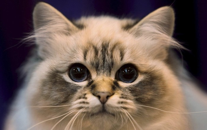 free-cat-close-up-wallpaper-1 (700x437, 58Kb)