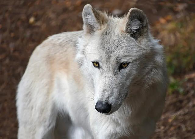 белый волк. image (640x457, 69Kb)