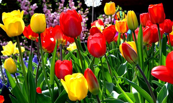 тюльпаны 3 (700x420, 458Kb)