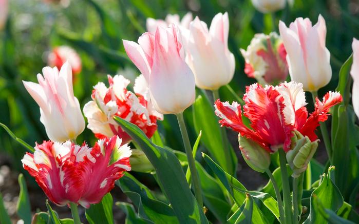 тюльпаны 7 (700x437, 403Kb)