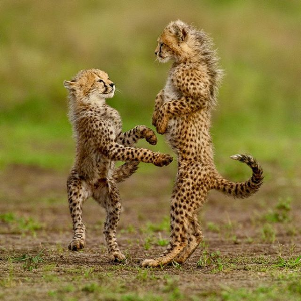 3132812_Screenshot_20190115_Frans_Lanting_v_Instagram_Photo_by_FransLanting_When_cheetah_cubs_are_two_months_old_they_are_irresi___ (598x598, 938Kb)