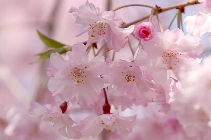 japanese flowers 33 (700x466, 256Kb)