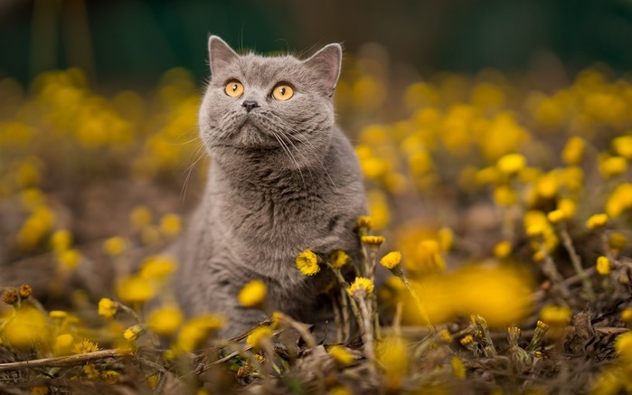 Gray-cat-orange-eyes-yellow-flowers_1920x1200 (700x437, 82Kb)