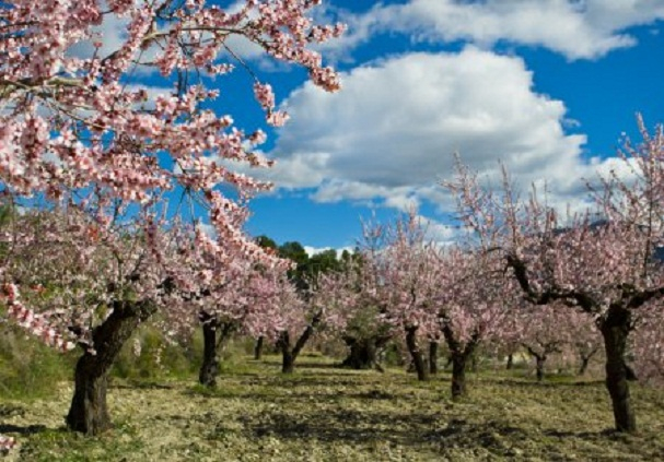 depositphotos_40294863-stock-photo-almond-orchard-in-blossom-alicante (607x423, 258Kb)