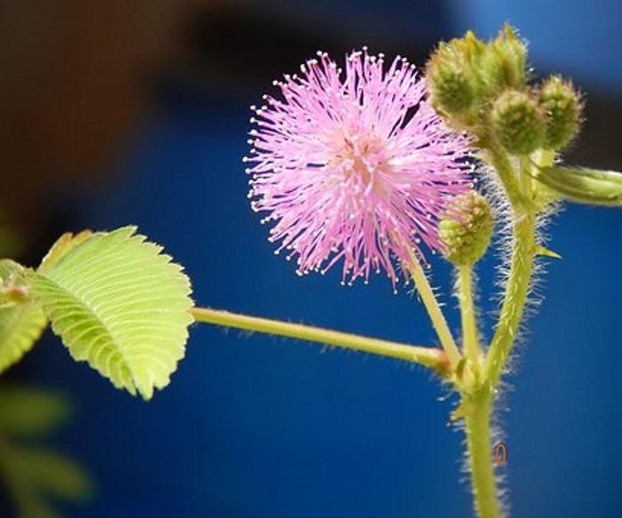 Mimosapudicaseeds1 (700x583, 318Kb)