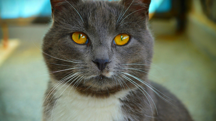 koshka-cat-macro (700x393, 298Kb)