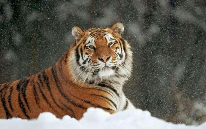 История про фельдшера и тигра