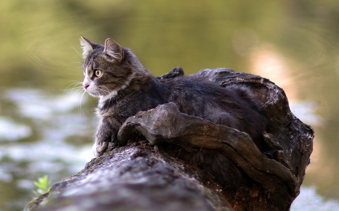 cat-lying-timber-river-watch-1067711 (700x437, 206Kb)