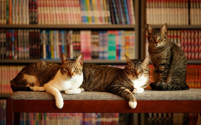 three-cats-room-1080P-wallpaper (700x437, 373Kb)