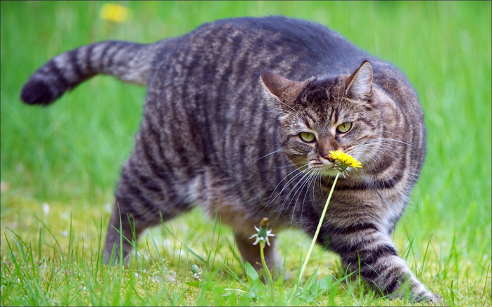 Animals___Cats_____Fat_cat_sniffing_a_flower_085983_ (700x437, 382Kb)