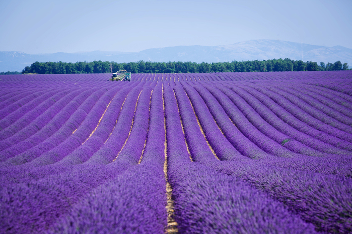 France_Fields_Lavandula_Provence_546399_3000x2000 (700x466, 379Kb)