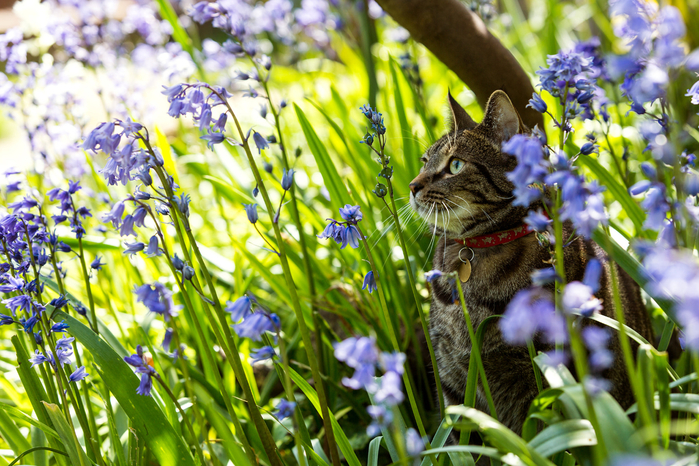 2017Animals___Cats_Gray_cat_in_a_collar_sits_in_blue_flowers_115878_ (700x466, 528Kb)
