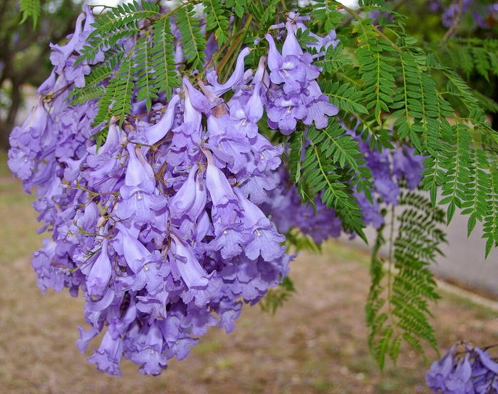 Jacaranda_mimosifolia_flowers_and_leaves_1369078 (700x553, 504Kb)