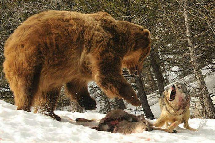 Битвы гигантов: фотографии смертельных схваток в дикой природе