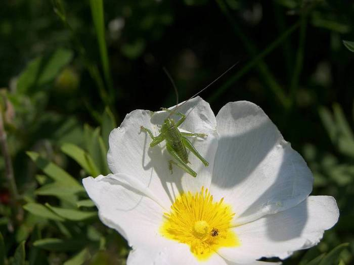 cistus-salvifolius-flower-white-petals-cricket (700x525, 30Kb)