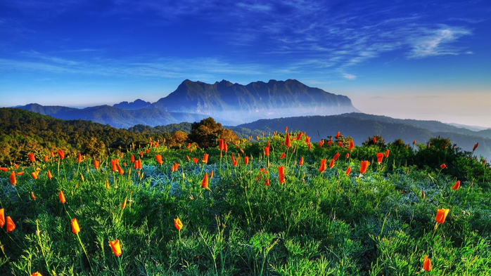 flowers-mountain-field-thailand-chiang-dao (700x393, 402Kb)