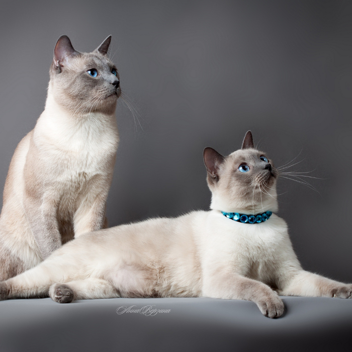 thai_cat_cats_couple_beautiful_thoroughbred_96477_1280x1280 (700x700, 321Kb)