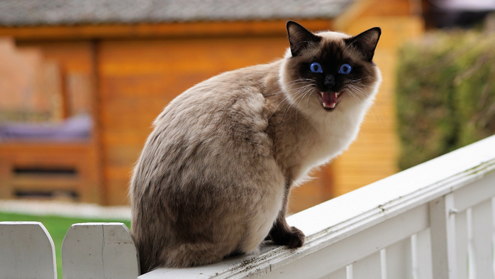 1264201-free-download-siamese-cat-wallpaper-3840x2160-desktop (700x393, 295Kb)