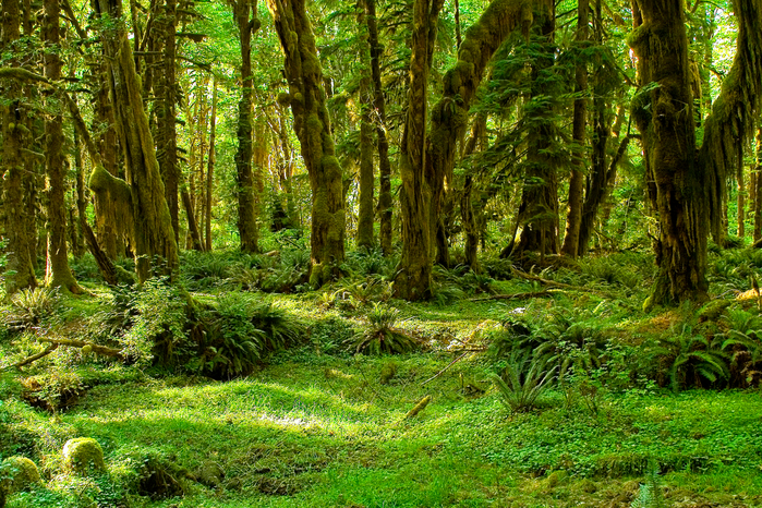 Maple_Glade_Trail,_Olympic_National_Park (700x466, 675Kb)