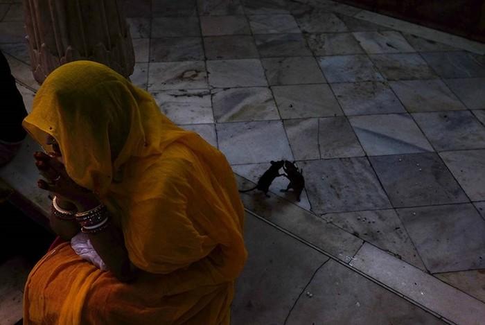 Крысиное царство: индийский храм Карни Мата