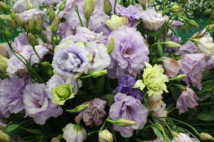 Nature___Flowers_Beautiful_Eustoma_(Irish_Rose)_at_their_summer_cottage_067307_ (700x466, 443Kb)