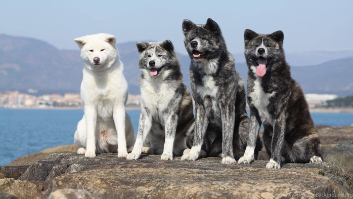 151605_akita-inu-dogs-spotted-slope-hd-wallpapers_4277x2851_h (700x393, 278Kb)