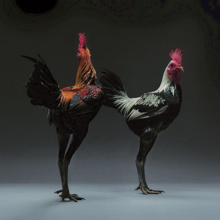 Удивительные фотографии кур от Moreno Monti