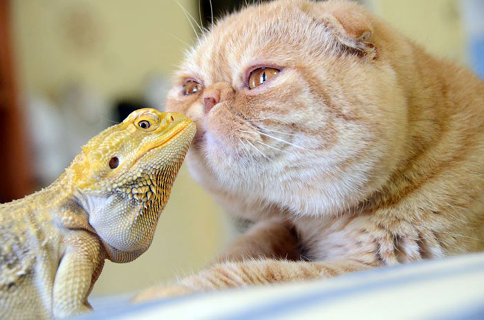 unusual-animal-friendship-cat-iguana__700 (700x463, 72Kb)