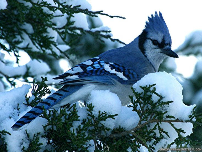 1eba022edb7a5e133d20d53c027d3ab9--winter-snow-bird-wallpaper (700x525, 423Kb)