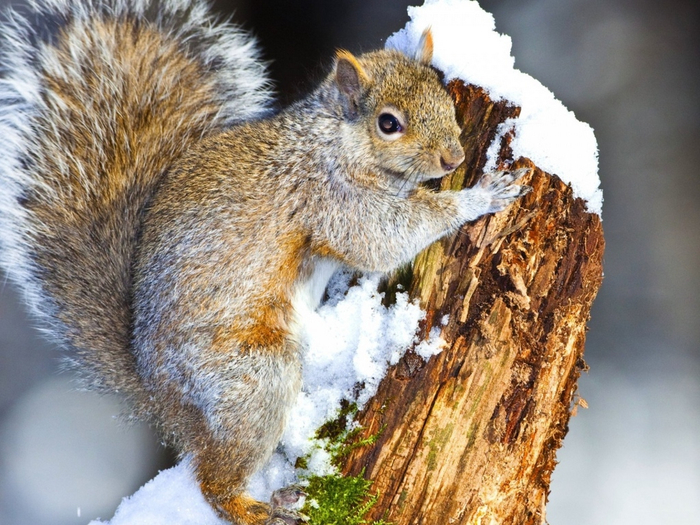 squirrel_snow_tree_climbing_animal_72189_1024x768 (700x525, 454Kb)