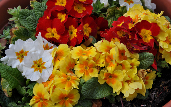 Primula_Many_482807_1440x900 (700x437, 466Kb)